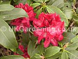 Rhododendron 'Hugh Koster'