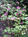 Ribes sanguineum (Pink flowering currant)