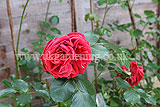 Rosa 'Sweet Chariot' (Rose)