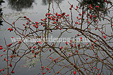 Rosehips over water