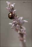 Chrysolina americana (rosemary beetle) on lavender flower stem