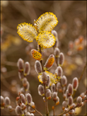 <em>Salix caprea</em> Goat willow, pussy willow, great sallow (male catkins)