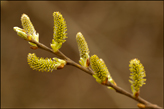 <em>Salix caprea</em> Goat willow, pussy willow, great sallow (female catkins)