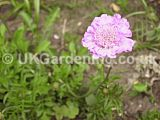 Scabiosa (Scabious, Pincushion flower)