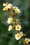 Sisyrinchium striatum (Satin flower, Mexican satin flower, pale yellow-eyed grass)