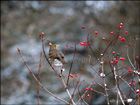 Song thrush sitting on vibunum in the snow