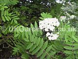 Sorbus aucuparia (Mountain ash, Rowan)