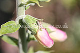 Crab spider (Misumena vatia) on foxglove
