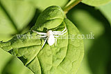 Crab spider (<em>Misumena vatia</em> - female)