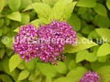Spiraea japonica 'Gold Flame'