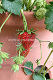Strawberry - ripening fruit