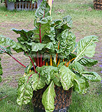 Beta vulgaris var. cicla (Swiss Chard)