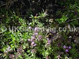 Bumble bee on Thymus vulagris (Thyme)