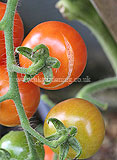 Lycopersicum esculentum (Tomato) 'Gardener's Delight' - fruit splitting