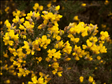 <em>Ulex europaeus</em> (Common gorse)