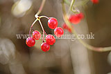 Viburnum opulus (Guelder Rose) berries