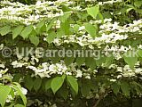 Viburnum plicatum (Japanese Snow Ball Bush)