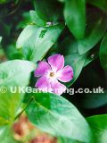 Vinca minor (Common periwinkle, Lesser periwinkle)