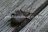Vine weevil - adult
