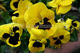 Viola (Pansy) - yellow with blotch