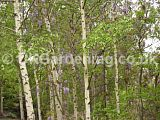 Wisteria growing through silver birch