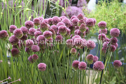 a photo of allium sphaerocephalon round headed leek photo ref 1438 from the photo library. Black Bedroom Furniture Sets. Home Design Ideas