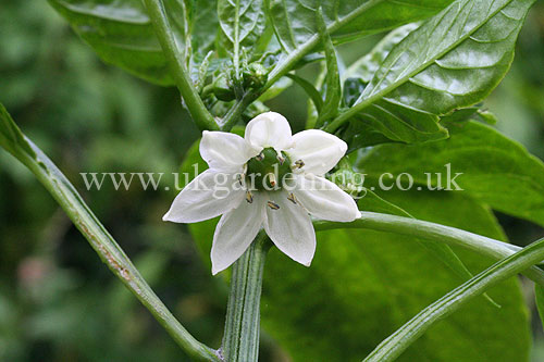 Capsicum annuum (Bell pepper) - growing in the greenhouse
