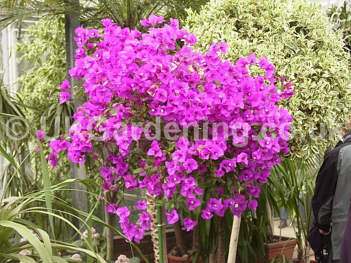 Bougainvillea 'Purple-Robe'