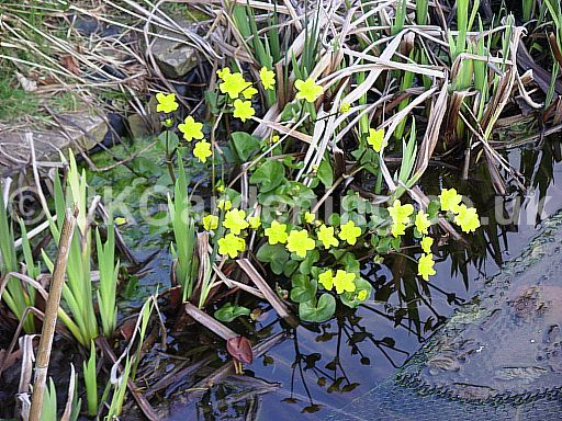 Caltha palustris (Kingcup, Marsh marigold)