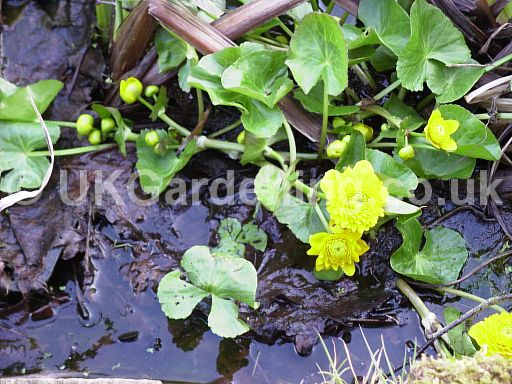 Caltha palustris 'Flore Pleno' (Kingcup, Marsh marigold)