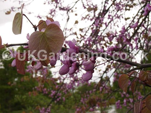 Cercis siliquastrum (Judas tree, Redbud)