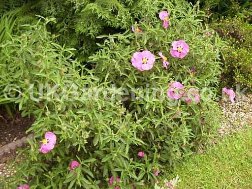 Cistus x purpureus (Rock rose, Sun rose)