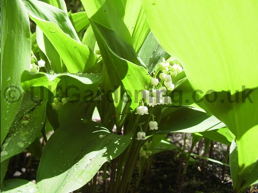Convallaria majalis (Lily-of-the-valley)