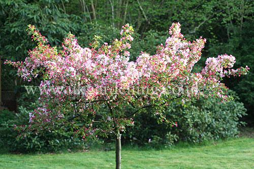 malus sylvestris straßenbaum