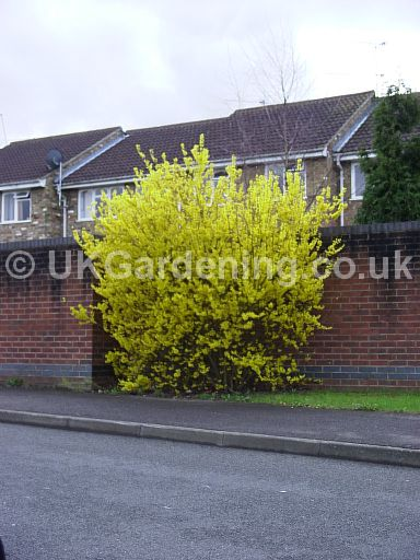 Forsythia x intermedia 'Golden Bells'