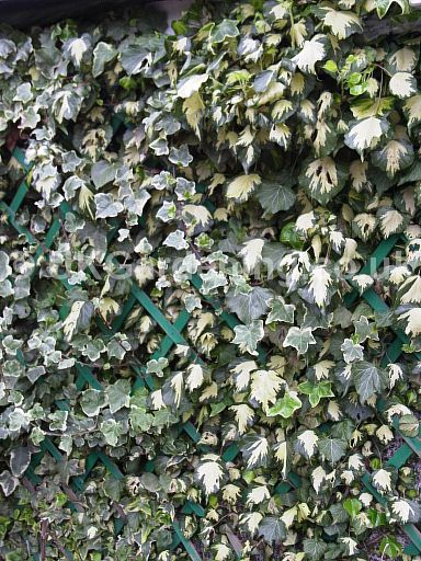 Hedera helix 'Goldheart' (Common english ivy)