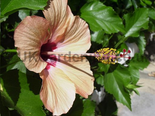 Hibiscus (Tree Hollyhock)