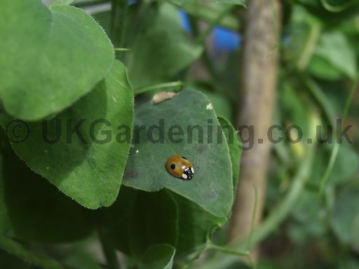 Ladybird (2 spot) on sweet pea