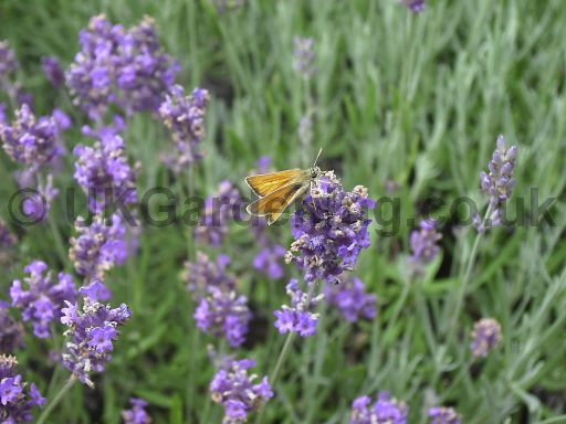 Lavandula angustifolia (Common or English lavender) with Large Skipper butterfly