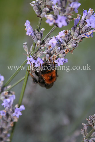 Lavandula angustifolia (Common or English lavender) with Bee