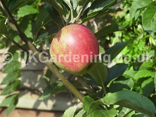 Malus domestica (Apple)
