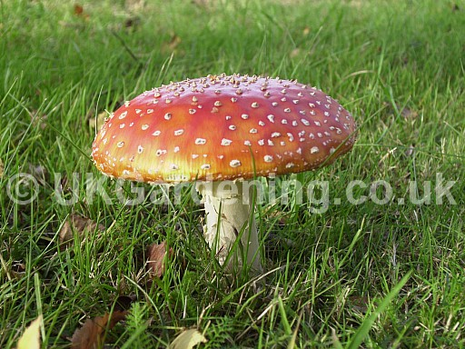 Amanita muscaria (Fly agaric)