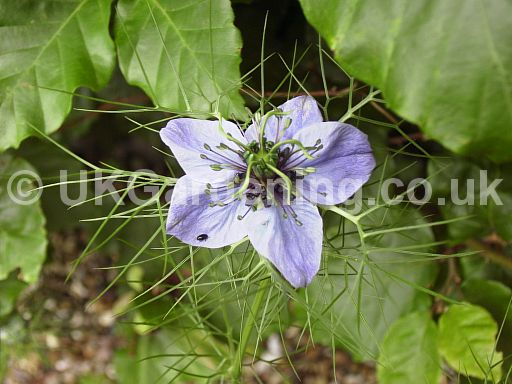 Nigella damascena 'Miss Jekyll' (Love-in-a-mist)
