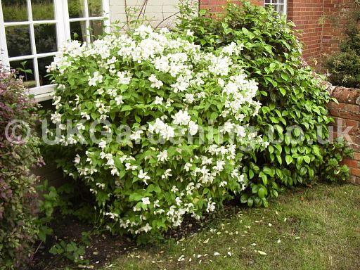 Philadelphus (Mock orange)