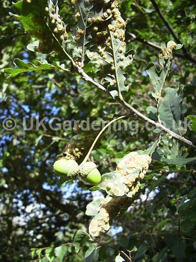 Quercus robur (Common oak) with spangle gall