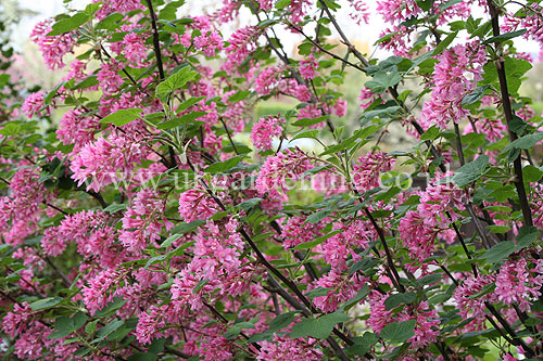 A photo of ribes sanguineum v glutinosum pink flowering currant glutinosum pink flowering currant mightylinksfo