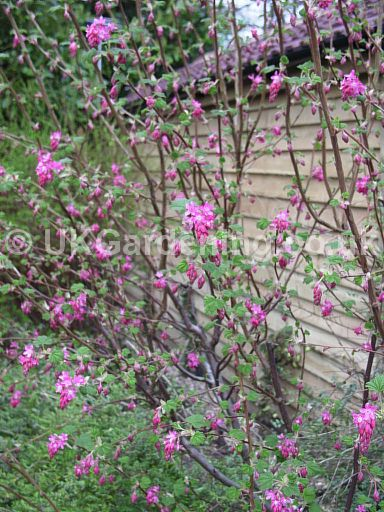 A Photo Of Ribes Sanguineum Pink Flowering Currant Photo Ref
