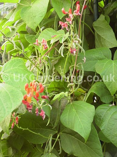 Phaseolus vulgaris (Runner bean)