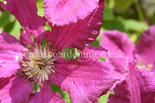Shield bug on clematis