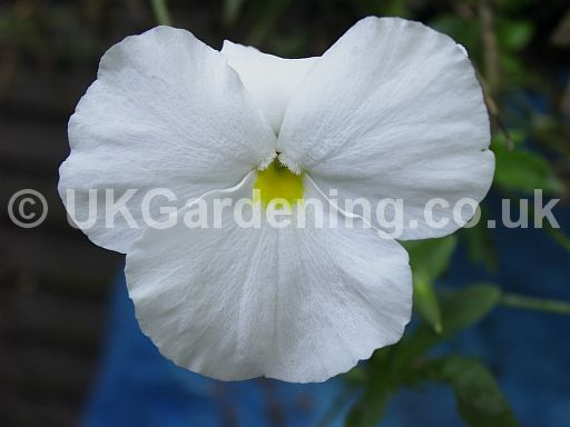 Viola x wittrockiana F1 Pure White (Pansy)